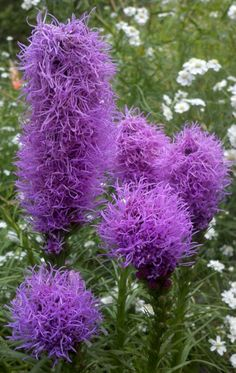 The flower is Liatris or also known as Gayfeather