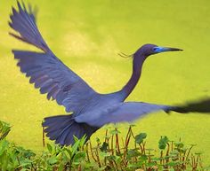 Little Blue Heron Taking Flight 20090401 photo - Gordon W photos ...