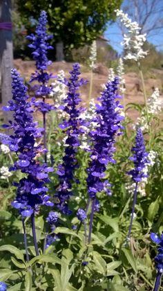 Garden mobile phone snapshopt 2 #Australia #snapshot #flowers