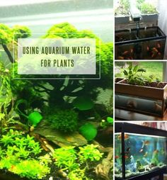 Waste water from the aquarium can be used on plants in your garden. In this article learn how to use aquarium water for plants. Aquarium Pump, Aquarium Fish, Aquarium Supplies, Garden Care, Go Green, Fish Tank, Gardening Tips, Organic, Water