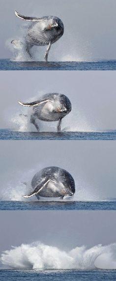 Buckelwal - Humpback wale