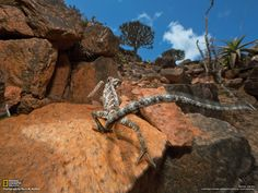 Chameleon, Socotra  Photograph by Mark W. Moffett, National Geographic  Chamaeleo monachus is found solely on Socotra, as are 90 percent of the island's other reptiles. Local people believe the chameleon is magic: It's said that a person hearing its hiss will lose the ability to speak.