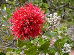 red ohia- official flower of the Big Island