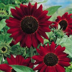 VELVET QUEEN Sunflower Seeds Magnificent flowers with velvety crimson petals and black hearts. The well-branched plants grow to tall.