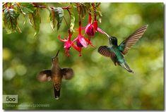 Hummingbirds by Birdman_NHL. Please Like http://fb.me/go4photos and Follow @go4fotos Thank You. :-)