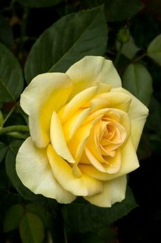 indigowheel:Rose 'St. Patrick'