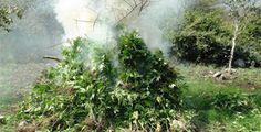 #Oaxaca #Noticias: Destruye PGR 2 plantíos de marihuana en Oaxaca