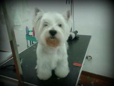 Marchando un baño y corte de raza para este guapo #westy   #mascotas #peluqueriacanina
