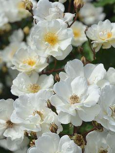 (klim)roos 'Moonlight' - Pemberton (1913). Kleine, geurende crème-witte roosjes in enorme trossen. Sterk en gezond. Verdraagt wat schaduw.Goede haagroos. H 150cm als struik, tot 250cm als klimmer.