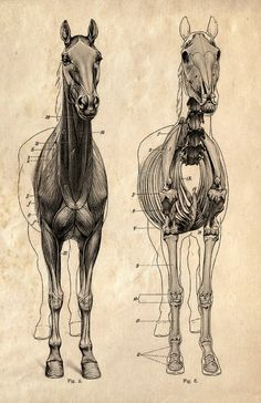 Horse anatomy - I know you were looking for this...