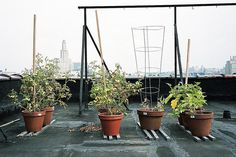 Enjoy Vine-Ripe Tomatoes From Your Balcony or Patio