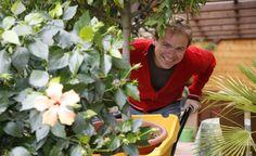 Der Rosen-Eibisch (Hibiscus rosa-sinensis) ist sehr frostempfindlich und muss daher schon früh ins Winterlager