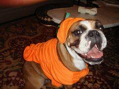 The bullie bulldog has a new Halloween outfit.
