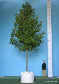 Liriodendron tulipifera http://www.buythetreeyousee.com/trees/buy-tulip-tree-liriodendron-tulipifera-super-instant-  Over 8 metres tall - this one is 'super instant' !:
