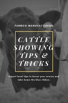 When showing cattle, it's important to make sure your presentation displays your cattle well. Here are some cattle showing tips to maximize your chances to win. Livestock Judging, Showing Livestock, Showing Cattle, Calf Training, Training Tips, Show Cattle Barn, Steer Cow, Cow Tipping, Show Cows
