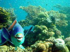 Parrot Fish, #eilat, #israel