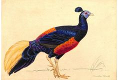 Crested Fireback Pheasant, Liedl, 1956