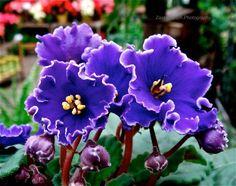 Fokföldi ibolya * Saintpaulia African Violet, Violets, Plants, Photography, Blue, Photograph, Fotografie, Photoshoot, Plant