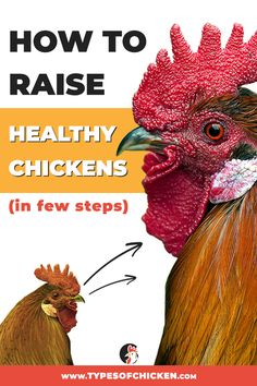 Urban chicken farming - How To Raise Healthy Chickens In Few Steps – Urban chicken farming Types Of Chickens, Raising Backyard Chickens, Chickens And Roosters, Pet Chickens, Backyard Poultry, Keeping Chickens, Urban Chickens, Chicken Breeds, Hobby Farms