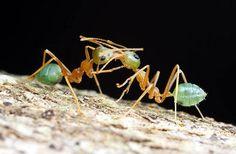 Weaver ants, a beneficial predator in the garden