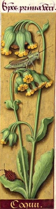 Coquu - Species prima veri (Primula officinalis Jq. = primevère, coucou) -- Grandes Heures d'Anne de Bretagne, BNF, Ms Latin 9474, 1503-1508, f°41r