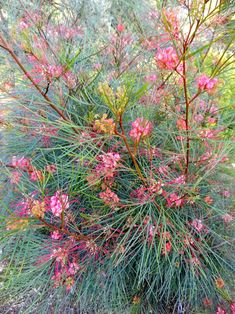 Grevillea 'Long John' Seems a little too dry for here but might be a good accent.(GL) Grevillea 'Long John' Seems a little too dry for here but might be a good accent. Bush Garden, Garden Shrubs, Garden Plants, Garden Landscaping, Rain Garden, Australian Native Garden, Australian Native Flowers, Australian Plants, Australian Garden Design