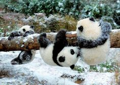 Panda cubs at play.