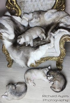 Puppies and the throne. by Richard Ayres. #wolfdog #wolfalike #puppies  #gameofthrones