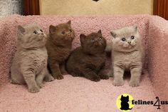 british shorthair cinnamon and chocolate cat perfect playmates for Lilablu