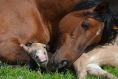 Bashkir Horse mare and foal