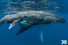 Tonga - swim with humpbacks