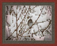 Snow Sparrow Framed Print By Shelly Weingart