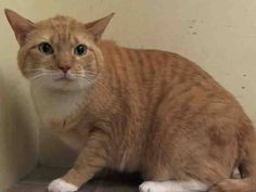 TO BE DESTROYED 6/30/14 ** Jackson's former owner stated he loves to play, enjoys petting, uses a scratch post, loves to cuddle  be picked up. ** Manhattan Center  My name is JACKSON. My Animal ID # is A0864591. I am a neutered male org tabby and white domestic sh mix. The shelter thinks I am about 4 YEARS old.  I came in the shelter as a OWNER SUR on 06/24/2014 from NY 10451, owner surrender MOVE2PRIVA.