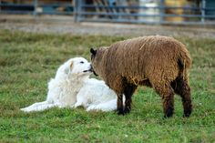 I've got more to do than I've got time to do, so the behinder I get.and this post just gets more random the longer I work on it. Lamb Pictures, Sheep And Lamb, Counting Sheep, Great Pyrenees, Samoyed, White Dogs, Sheep Dogs, Doggies, Lambs