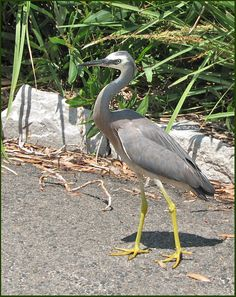 White-faced Heron, Manly NSW 2005