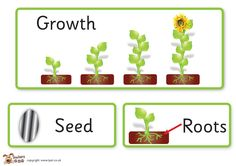 Teacher's Pet Displays » Plant growth key word cards » FREE downloadable EYFS, KS1, KS2 classroom display and teaching aid resources » A Sparklebox alternative