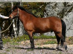 Gotland Pony - gelding Ernst Ravelli
