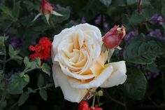 Diamond Jubilee Buff yellow exhibition blooms with a strong fragrance. Vigorous and disease resistant.