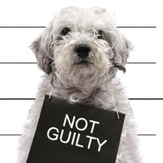He may not be guilty, but he sure is #cute! Customize this Bad #Dog template at #ImageChef: http://www.imagechef.com/ic/make.jsp?tid=Bad+Dog