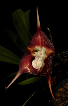 Someday I'll get a Dracula orchid and name it Alcide.