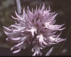 Orchis italica - From Monte Argentario, Italy