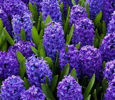 Hyacinty sú krásne v záhrade aj doma v črepníku