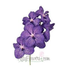 Fiftyflowers.com - Vanda Orchids Blue Magic - 2-3 Stems for $169.99