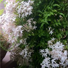 The smell of the jasmine is fantastic in the still cool evenings!