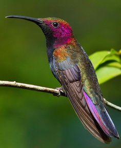 Adult Jamaican Mango [Hummingbird]  (Anthracothorax mango)