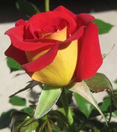 KETCHUP AND MUSTARD ROSE RARE ROSE 5 SEEDS AL1985SC ROSE BUSH RED AND YELLOW :)