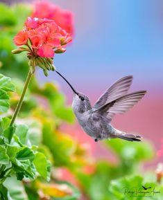 Picaflor del Norte. Oasis Hummingbird. Rhodopis vesper. Hembra. #naturephotography #naturepics #naturaleza #natureza #nature #wildlife #wildanimals #wildlifephotography #Wild #hummingbird #hummingbirds #birds #birdstagram #birdsofinstagram #birding #birdwatching #birdsphotography #avesdechile #picaflor #colibri #chile #chilegram #chilefollow #nikonphotography #nikond850 #nikond850prophotographers #king_birds #your_best_birds #perfect_birds #bestbirdshots