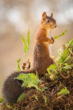 Alert Squirrel -MBW-