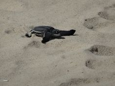 Newly Hatched Leatherback Sea Turtle at Eagle Beach