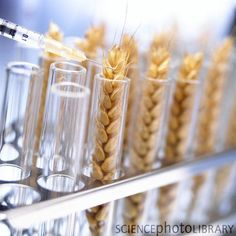 GMO alert: Eating GM wheat may destroy your liver, warn scientists ~ RiseEarth